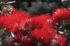 Röda blommor i madeiran Portugal Arkivbild
