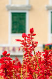 Röda blommor i Makarska Arkivbild
