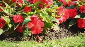 Röda blommor i parkera på gräset stock video