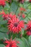 Röda blommor i trädgården Royaltyfri Foto