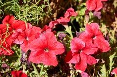 Röda blommor i trädgården arkivfoto