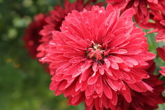 Röda blommor i trädgården Fotografering för Bildbyråer