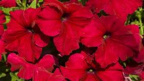 Röda blommor i trädgården Royaltyfri Fotografi