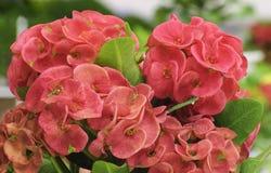 Röda blommor - krona av taggar Royaltyfri Fotografi