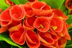 Röda blommor - krona av taggar - Euphorbiamilii Royaltyfri Bild