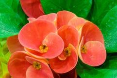 Röda blommor - krona av taggar - Euphorbiamilii Royaltyfri Fotografi