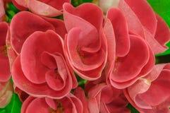 Röda blommor - krona av taggar - Euphorbiamilii Fotografering för Bildbyråer