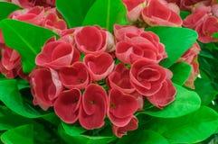 Röda blommor - krona av taggar - Euphorbiamilii Royaltyfri Foto