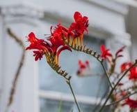 Röda blommor och ett vitt hus - gator av London arkivbild