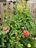 Röda blommor och gul dahliablom Arkivfoton