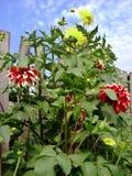 Röda blommor och gul dahliablom Royaltyfri Bild