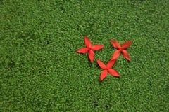 Röda blommor på de gröna vattenpaljetterna Royaltyfria Bilder