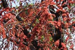 Röda blommor på de stora träden i sommar Royaltyfri Fotografi