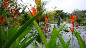 Röda blommor på en bakgrund av sjön med näckrors och springbrunnen arkivfilmer