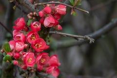 Röda blommor på en buske i vår royaltyfria foton