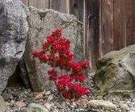 Röda blommor som blommar i vårträdgård Royaltyfri Foto