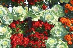 Röda blommor som blommar, och kålbakgrund, krysantemum blommar på Chiang Mai Flower Festival som rymms i Februari av varje år royaltyfri bild