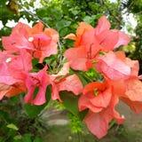 Röda blommor som stiger alltid Royaltyfria Foton