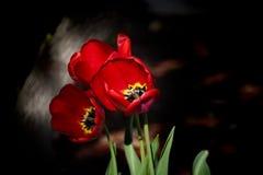 Röda blommor, tre fjädrar tulpan med mörk bakgrund, blommabegrepp Royaltyfri Foto