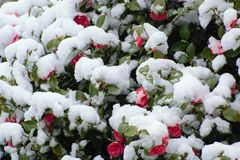 Röda blommor under snön Arkivbilder