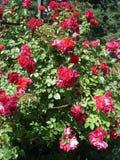 Röda blommors för klättringrosor Amadeus', Arkivfoto