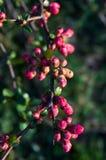 Röda blomningar Fotografering för Bildbyråer