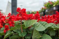 Röda blomningar Royaltyfri Bild