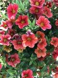 Röda blomningar Royaltyfri Foto