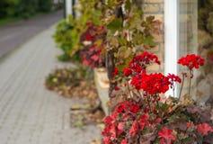 Röda blomningpelargon på fasaden av ett hus Royaltyfri Bild