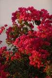 Röda bougainvilleablommor Arkivfoto