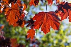 Röda bruna färglönnlöv mot solen tänder Royaltyfri Foto