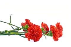 röda bukettnejlikor royaltyfri bild
