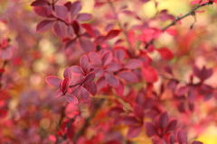 Röda Bush Arkivbild