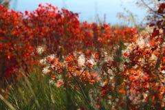 Röda Bush Arkivbilder