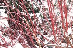 Röda Bush och ett granträd Arkivbilder