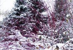 Röda Bush och ett granträd Arkivbild