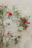 Röda buskerosor på bakgrundsväggen Arkivbilder