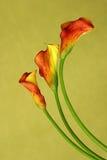 röda callas Royaltyfria Bilder