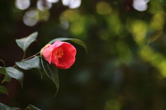 röda camellias Royaltyfri Bild