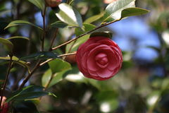 röda camellias Royaltyfri Fotografi