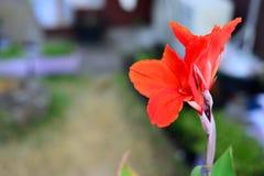 Röda Canna blommor med suddig bakgrund arkivbilder