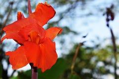 Röda Canna Lilly, Canna blomma Arkivfoton