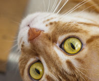 Röda Cat Muzzle arkivfoto