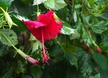 Röda Chaba (kines steg), Royaltyfria Foton