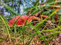 Röda champinjoner i skogen royaltyfri bild