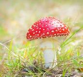 Röda champinjonsvampar Arkivbilder