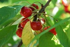 Röda Cherry på en filial Arkivbilder
