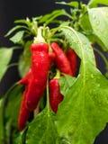 Röda chili ( Paprika annuum) på grönsaklappen efter ett regn med droppar av vatten på de gröna sidorna royaltyfri foto