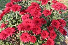 röda chrysanthemums Fotografering för Bildbyråer