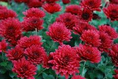 röda chrysanthemums Arkivfoto